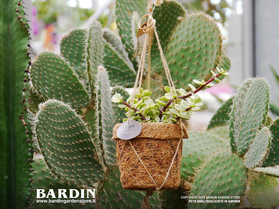 Piante Grasse Da Esterno piante grasse - vendita da bardin garden store villorba treviso