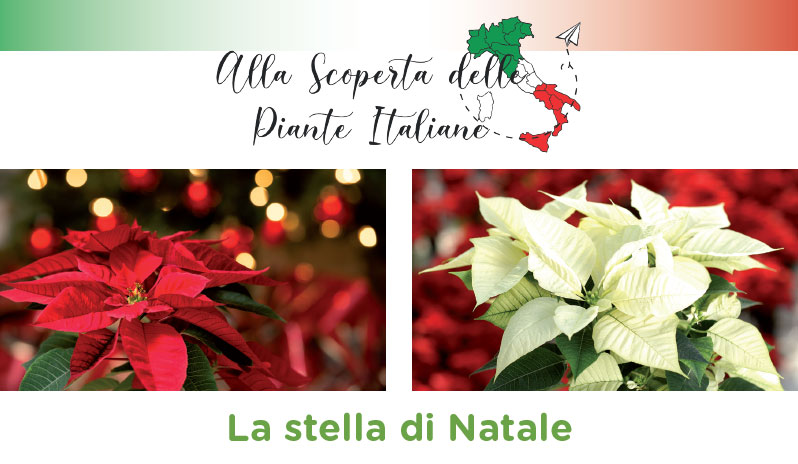 Cura Della Stella Di Natale.Alla Scoperta Delle Piante Italiane La Stella Di Natale Bardin Garden Store